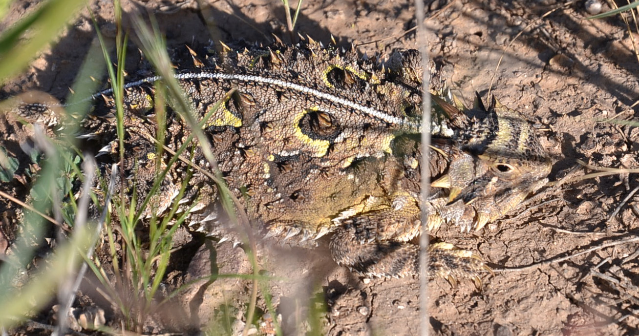west-texas-horny-toad